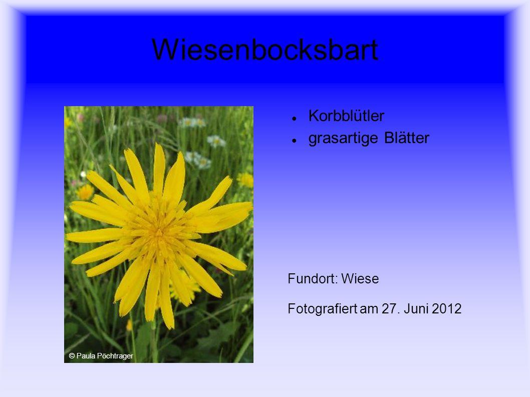 Wiesenbocksbart Korbblütler grasartige Blätter Fundort: Wiese