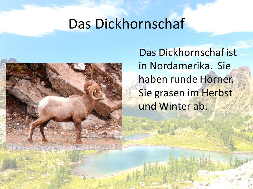 Das Dickhornschaf Das Dickhornschaf ist in Nordamerika.