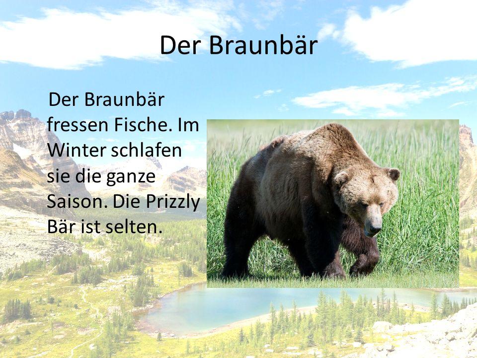 Der Braunbär Der Braunbär fressen Fische. Im Winter schlafen sie die ganze Saison.