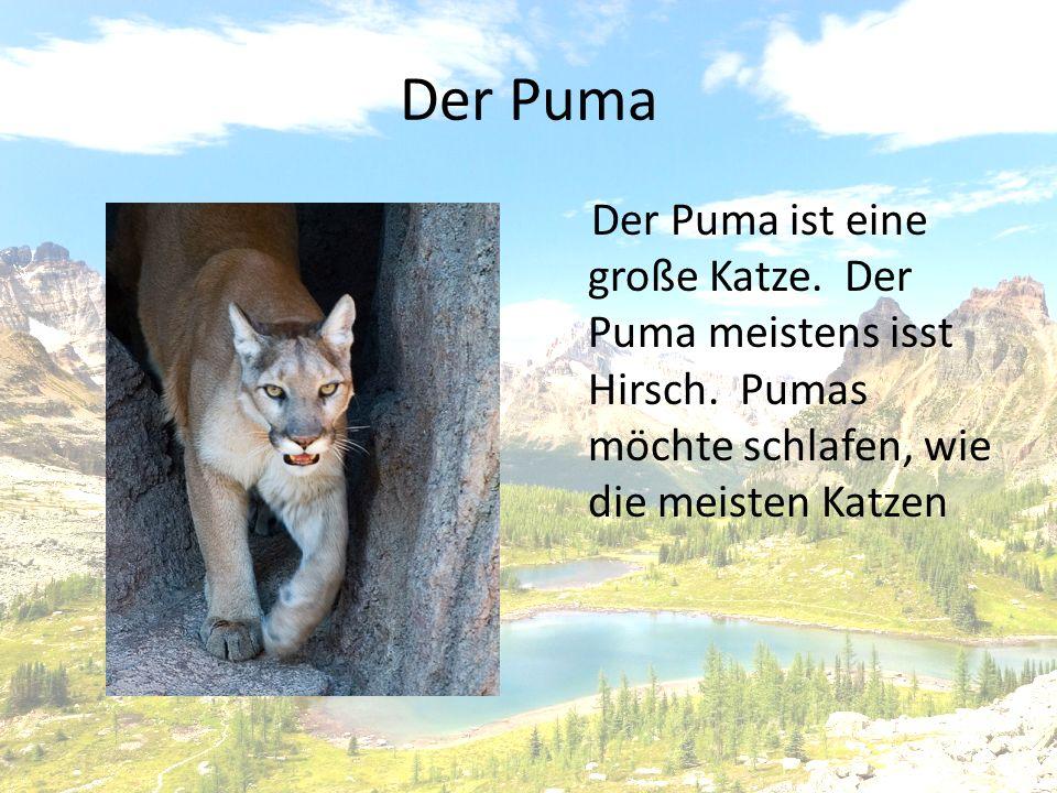 Der Puma Der Puma ist eine große Katze. Der Puma meistens isst Hirsch.