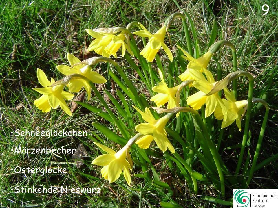 10 Buschwindröschen Märzenbecher Pestwurz Krokus