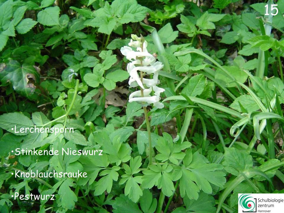 16 Krokus Wald-Veilchen Lerchensporn Gänseblümchen