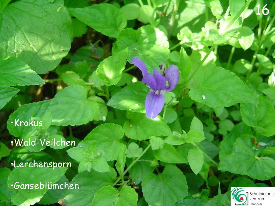 17 Wald-Veilchen Märzenbecher Vergissmeinnicht Knoblauchsrauke