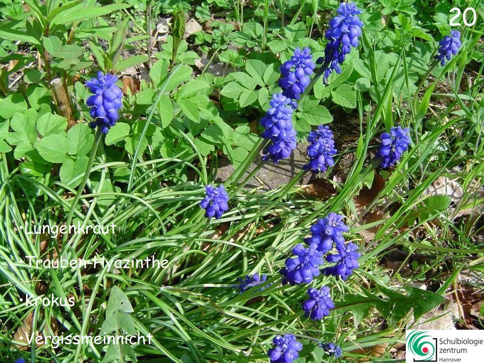 21 Wald-Veilchen Lungenkraut Gundermann Trauben-Hyazinthe