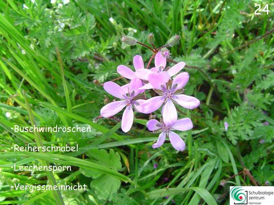 25 Reiherschnabel Hornkraut Gänseblümchen Buschwindröschen