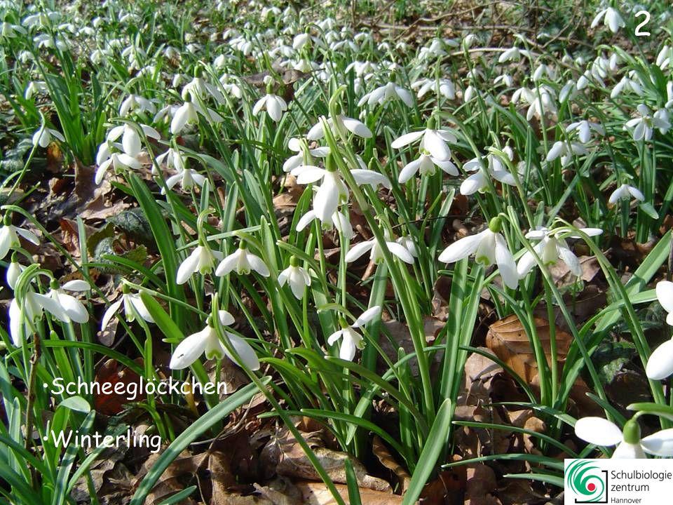 3 Märzenbecher Schneeglöckchen Winterling