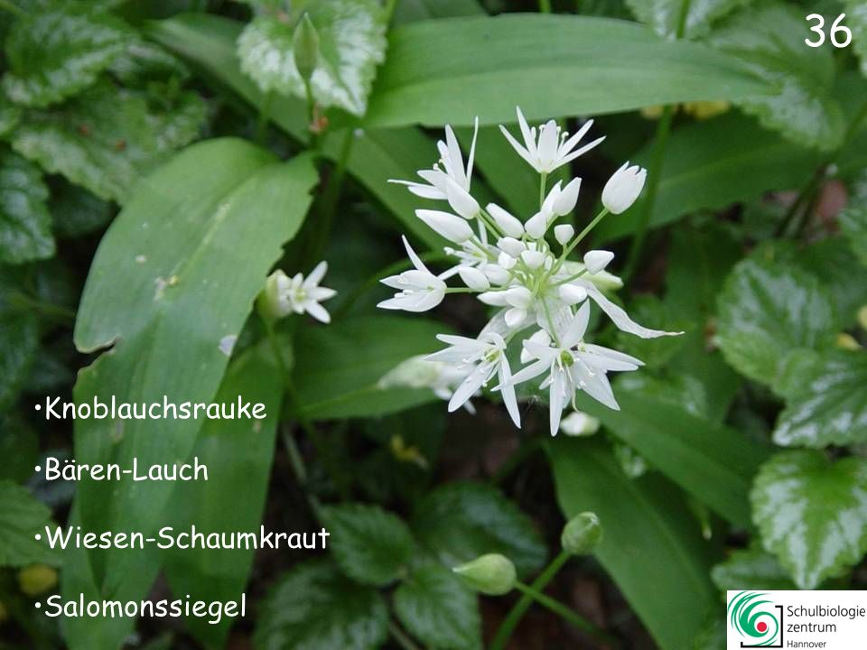 37 Buschwindröschen Waldmeister Sternmiere Schneeglöckchen
