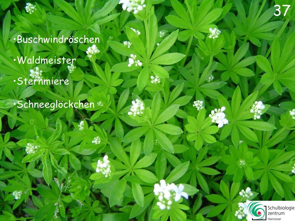 38 Scharbockskraut Sumpf-Dotterblume Gelbes Windröschen Winterling