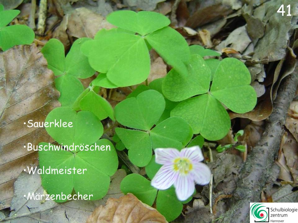42 Wald-Veilchen Gundermann Lungenkraut Silberblatt