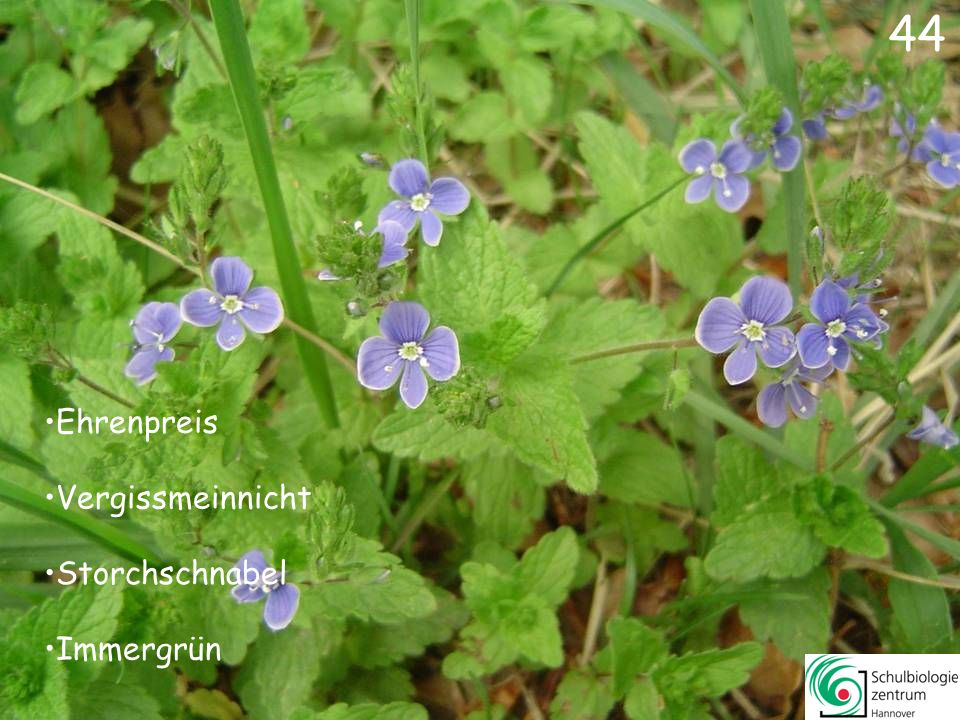 45 Vogelmiere Waldmeister Wald-Erdbeere Sauerklee