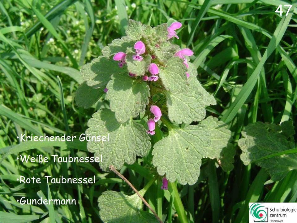 48 Gefleckte Taubnessel Trauben-Hyazinthe Zaun-Wicke Hasenglöckchen