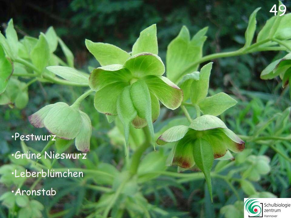 50 Löwenzahn Silberblatt Scharbockskraut Wilde Tulpe