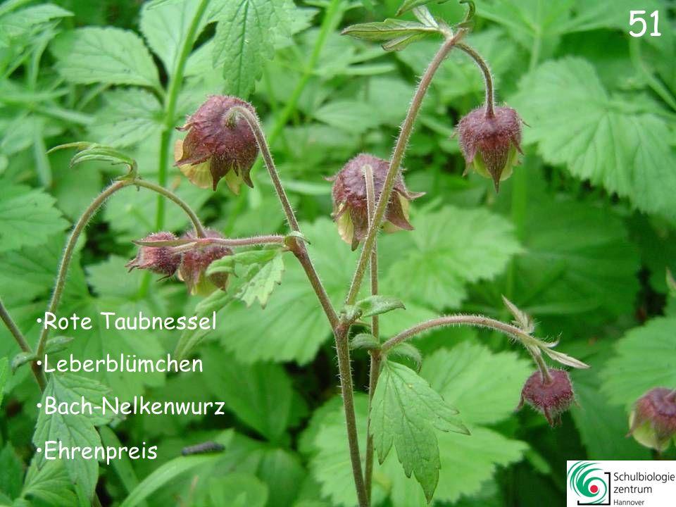 52 52 Schöllkraut Scharbockskraut Hahnenfuß Sumpf-Dotterblume