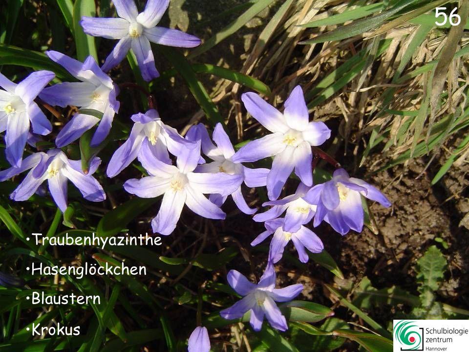 57 Pestwurz Immergrün Silberblatt Seidelbast