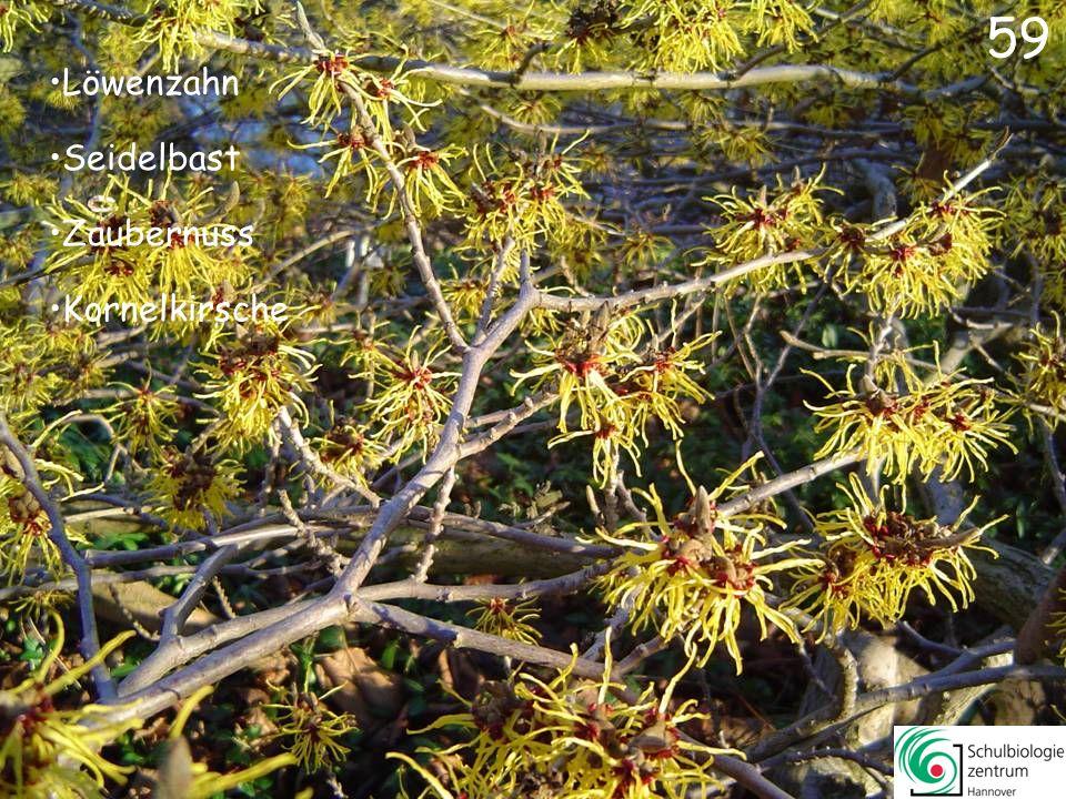 60 Hahnenfuß Scharbockskraut Gold-Krokus Wilde Tulpe