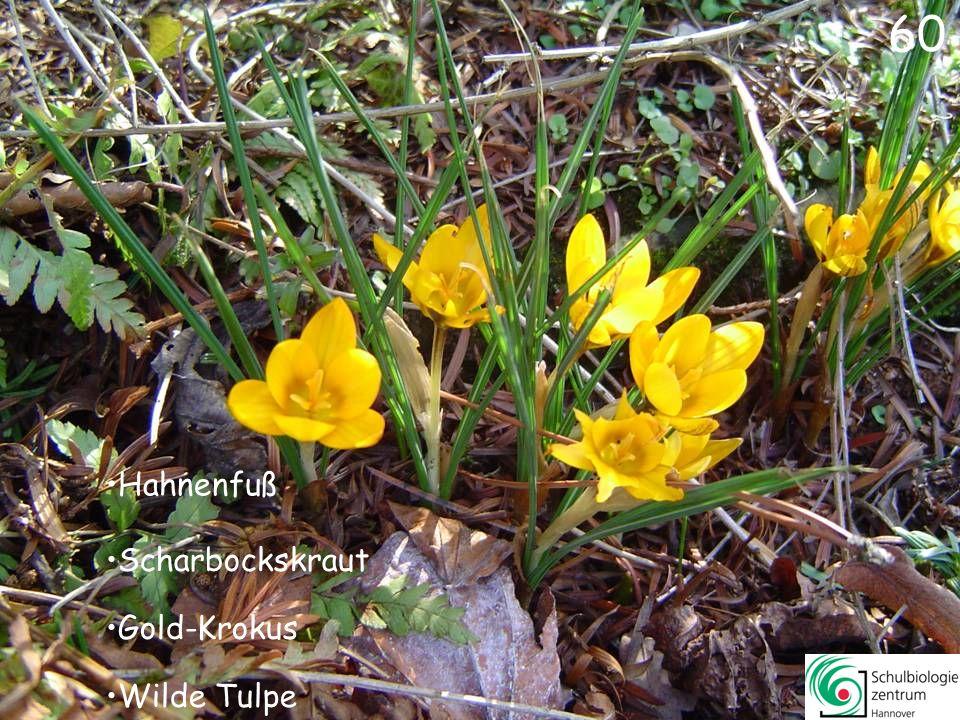 61 Kornelkirsche Seidelbast Schneeball (Viburnum x bodnatense)