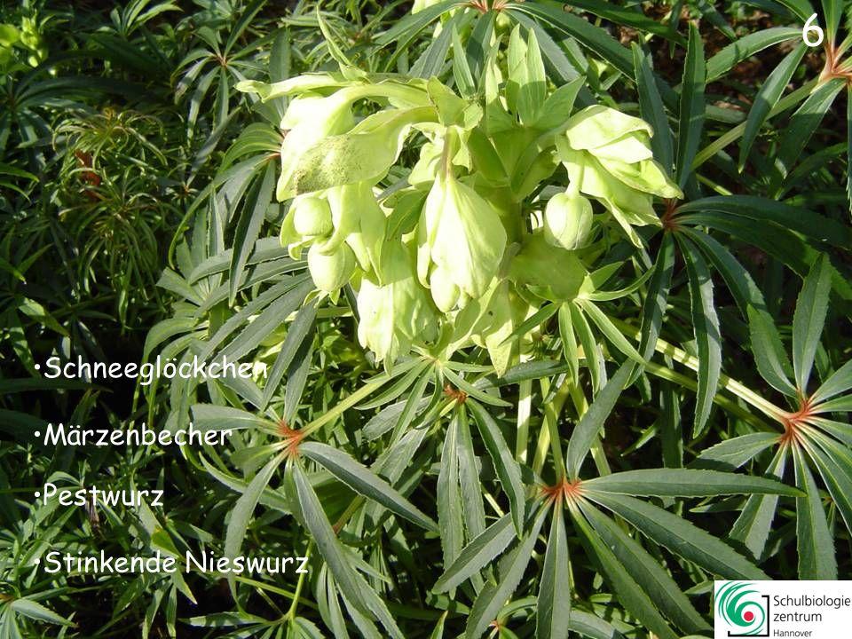 7 Krokus Winterling Stinkende Nieswurz Leberblümchen