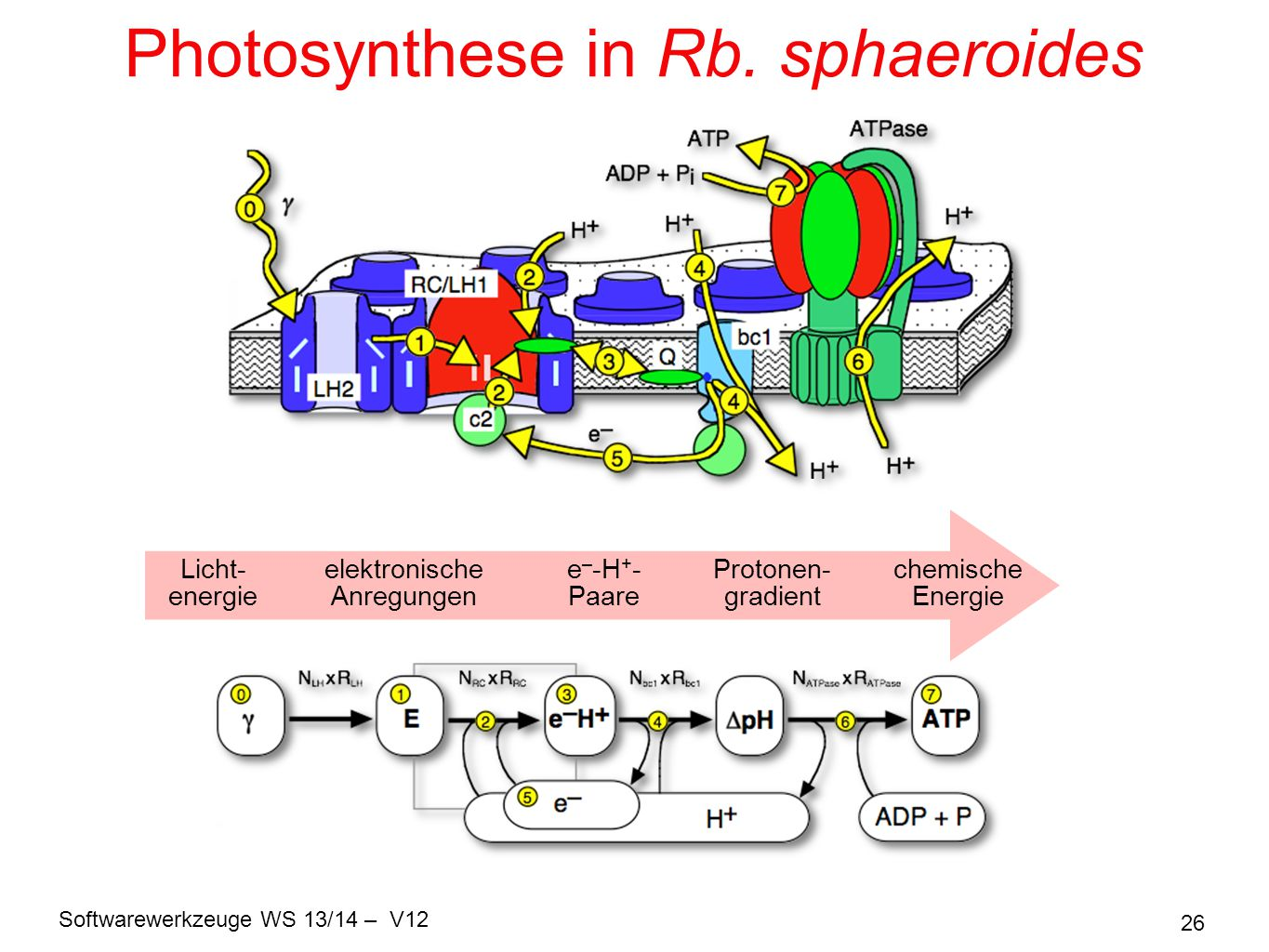 Photosynthese in Rb. sphaeroides