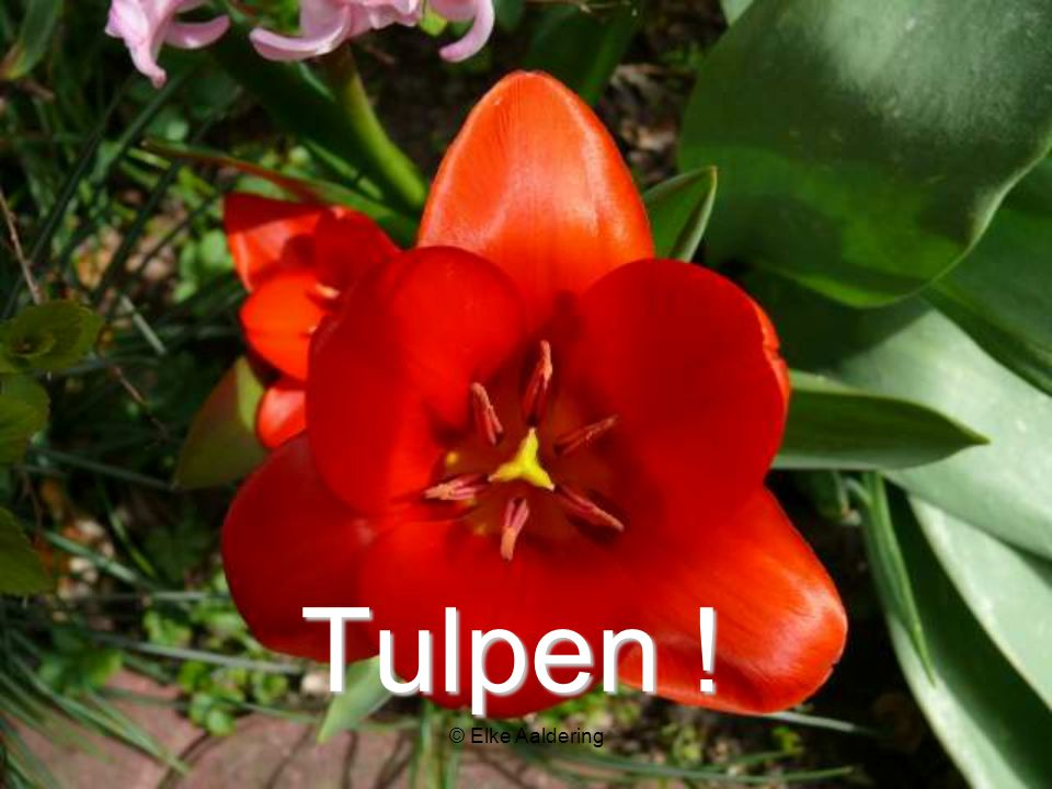 Tulpen ! © Elke Aaldering