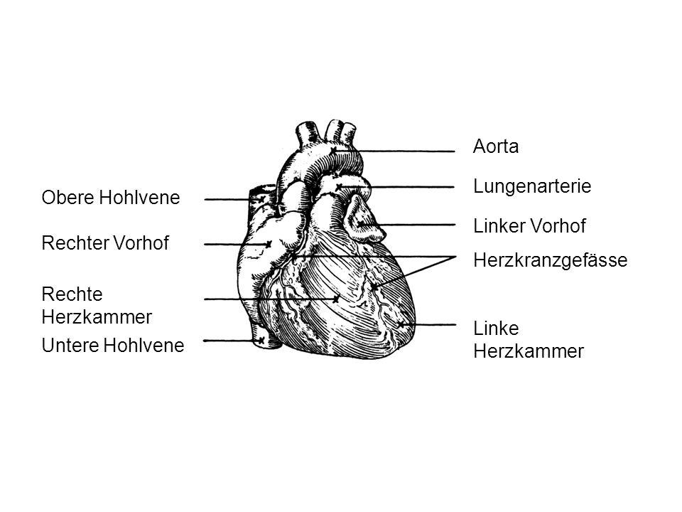Aorta Lungenarterie. Obere Hohlvene. Linker Vorhof. Rechter Vorhof. Herzkranzgefässe. Rechte Herzkammer.