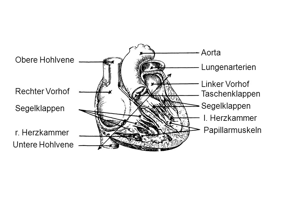 Aorta Obere Hohlvene. Lungenarterien. Linker Vorhof. Rechter Vorhof. Taschenklappen. Segelklappen.