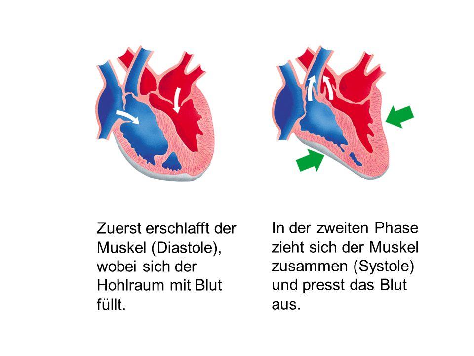 Zuerst erschlafft der Muskel (Diastole), wobei sich der Hohlraum mit Blut füllt.