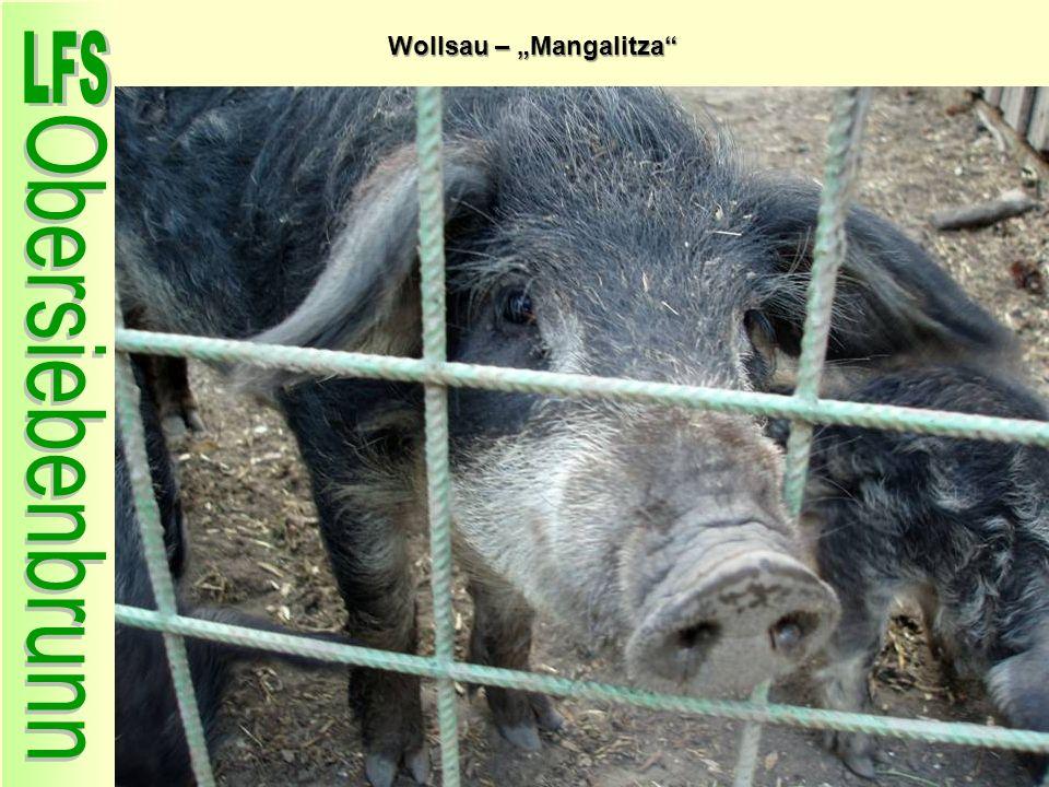 """Wollsau – """"Mangalitza"""