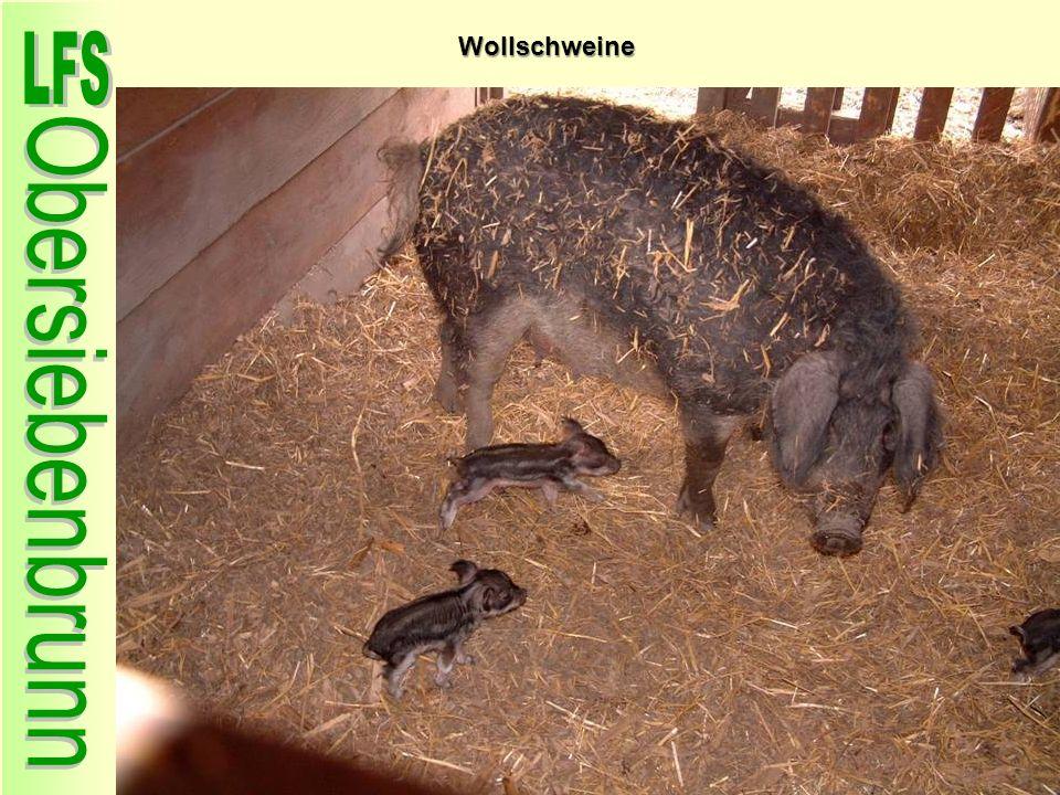 Wollschweine 49