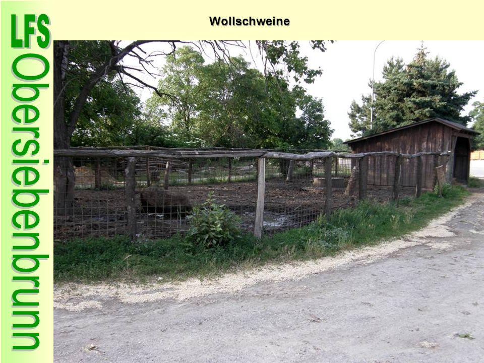 Wollschweine 50