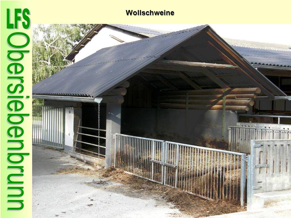 Wollschweine 51