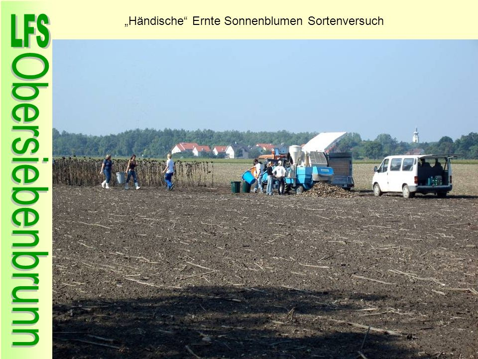 """""""Händische Ernte Sonnenblumen Sortenversuch"""