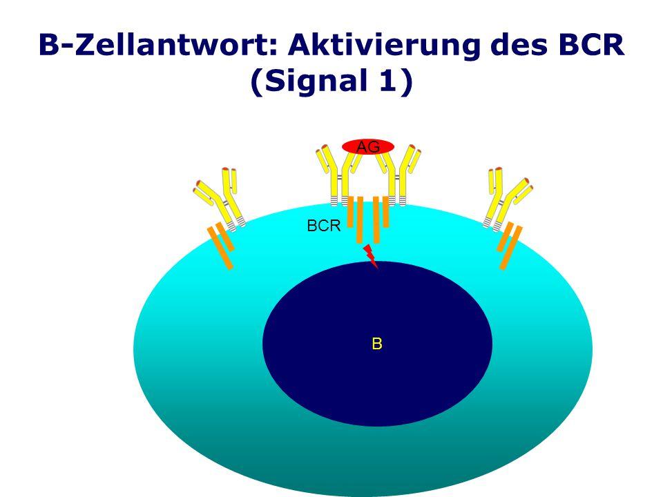 B-Zellantwort: Aktivierung des BCR (Signal 1)