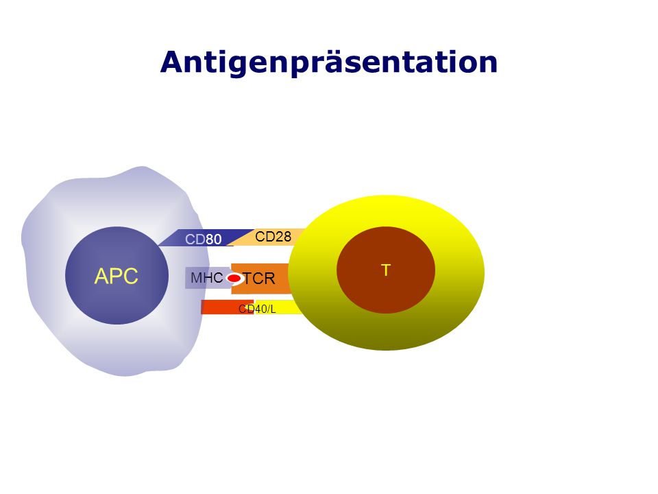Antigenpräsentation T APC CD80 CD28 MHC TCR CD40/L CD80