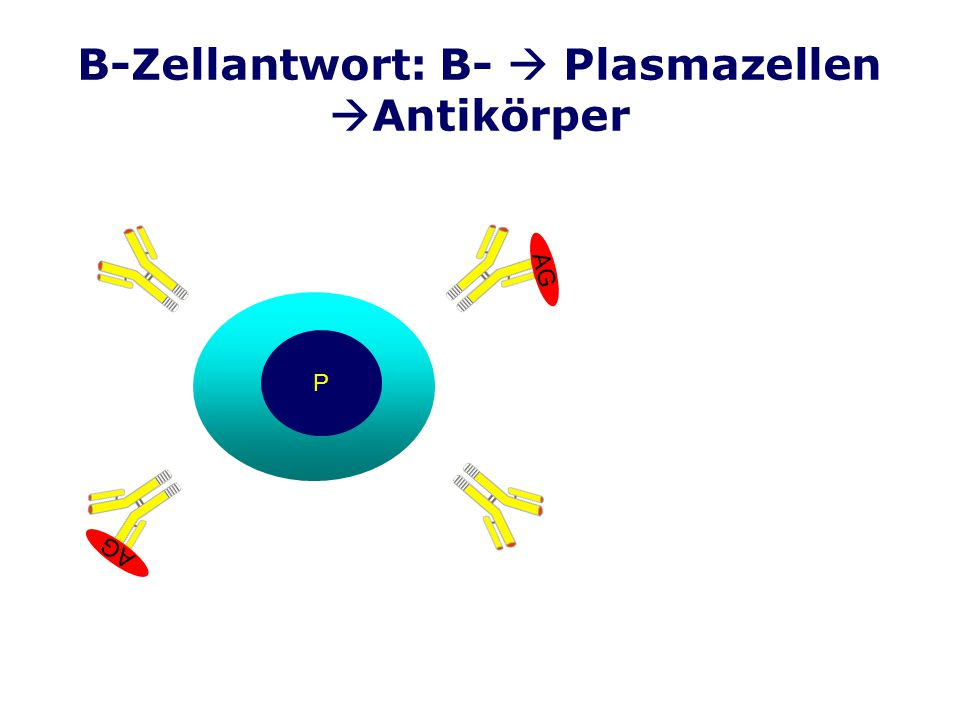 B-Zellantwort: B-  Plasmazellen Antikörper