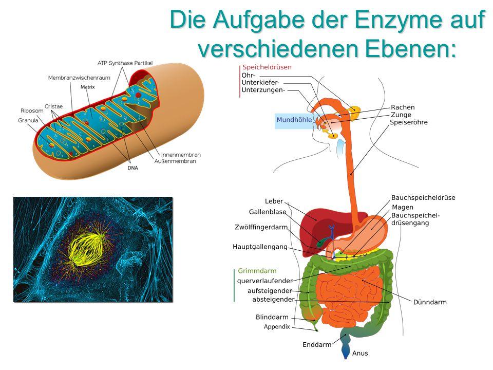 Die Aufgabe der Enzyme auf verschiedenen Ebenen: