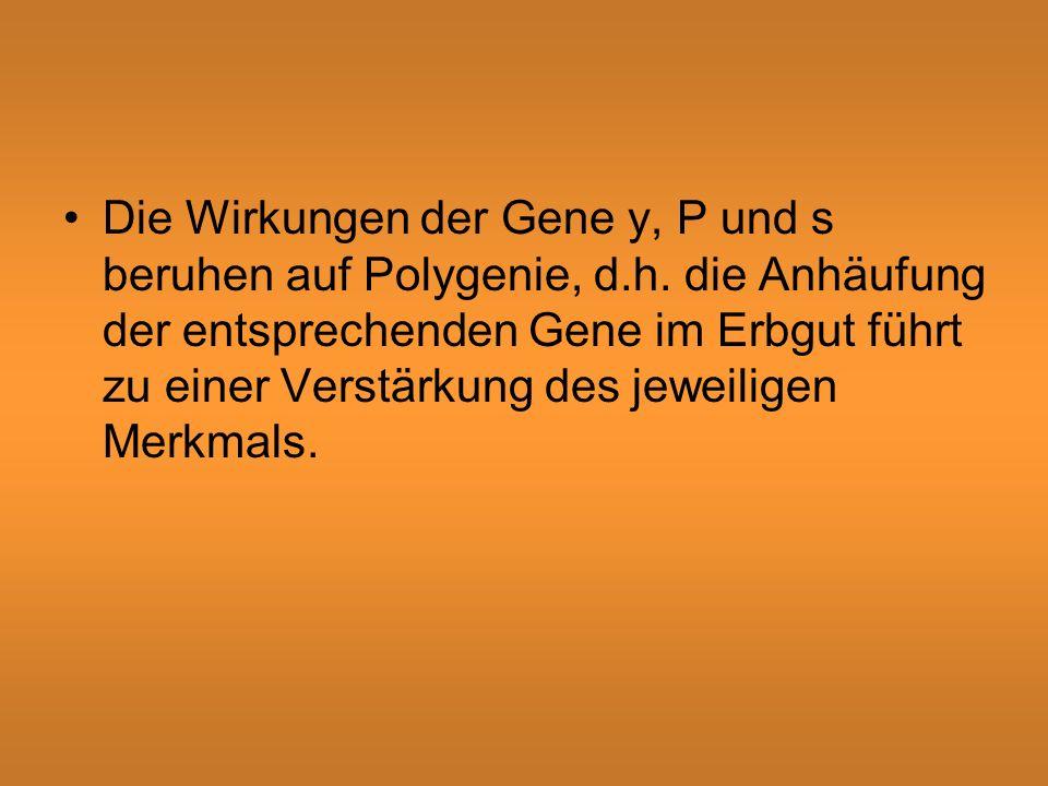 Die Wirkungen der Gene y, P und s beruhen auf Polygenie, d. h