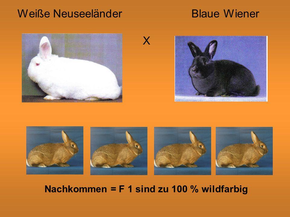 Weiße Neuseeländer Blaue Wiener X