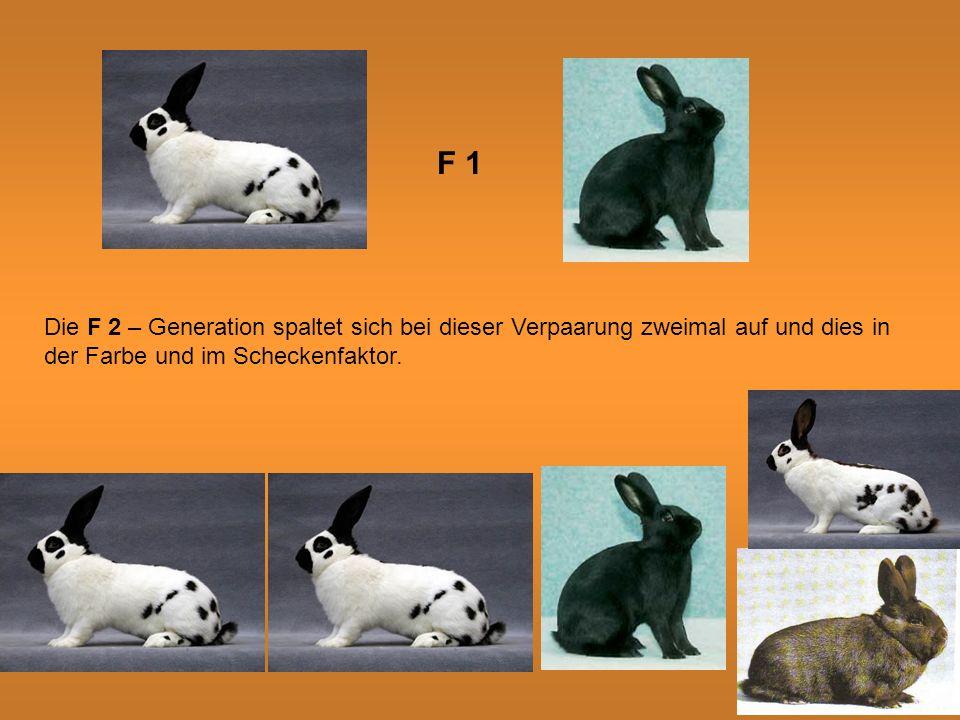 F 1 Die F 2 – Generation spaltet sich bei dieser Verpaarung zweimal auf und dies in der Farbe und im Scheckenfaktor.