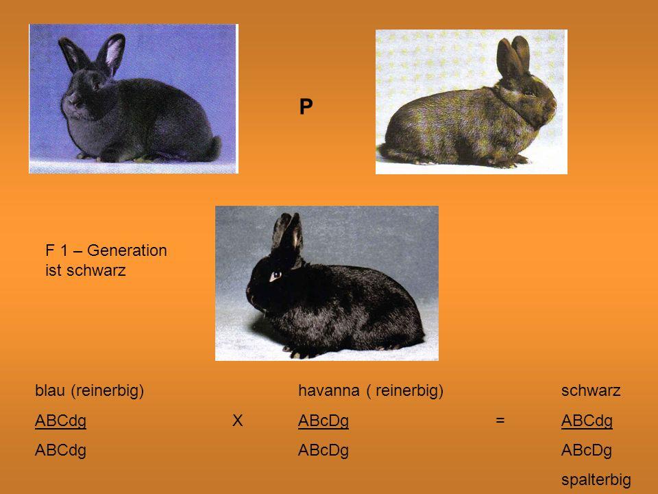 P F 1 – Generation ist schwarz. blau (reinerbig) havanna ( reinerbig) schwarz. ABCdg X ABcDg = ABCdg.