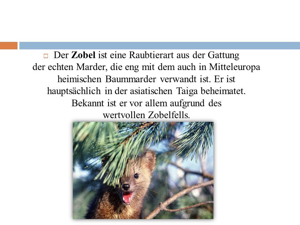 Der Zobel ist eine Raubtierart aus der Gattung der echten Marder, die eng mit dem auch in Mitteleuropa heimischen Baummarder verwandt ist.
