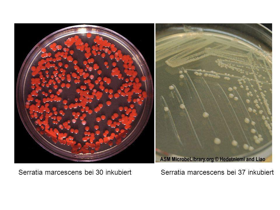 Serratia marcescens bei 30 inkubiert