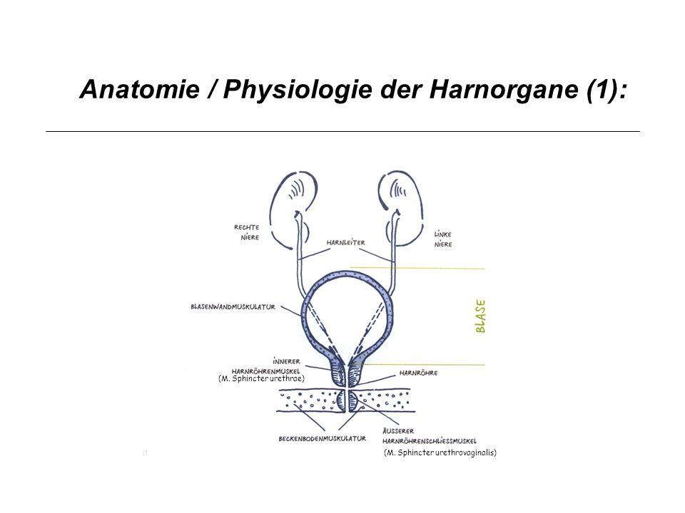 Anatomie / Physiologie der Harnorgane (1):