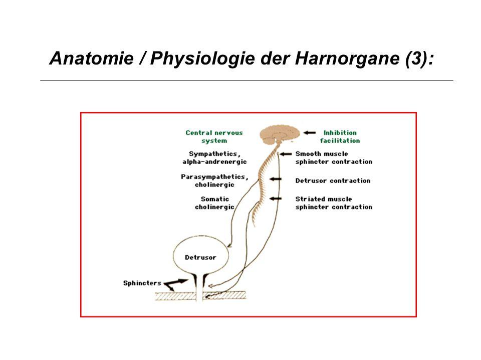 Anatomie / Physiologie der Harnorgane (3):