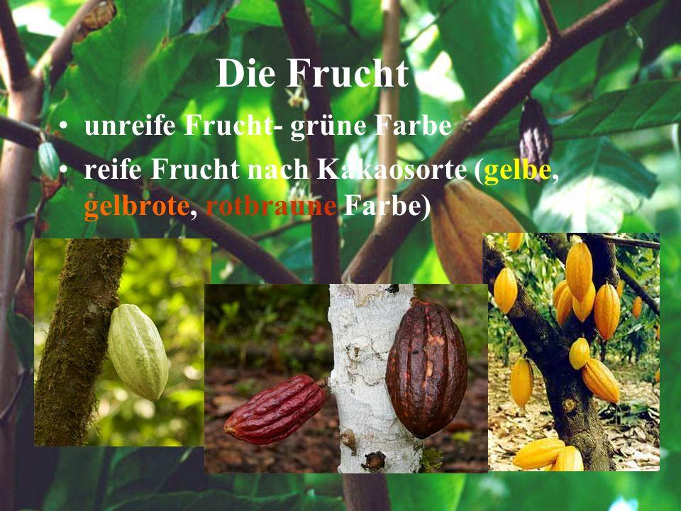 Die Frucht unreife Frucht- grüne Farbe