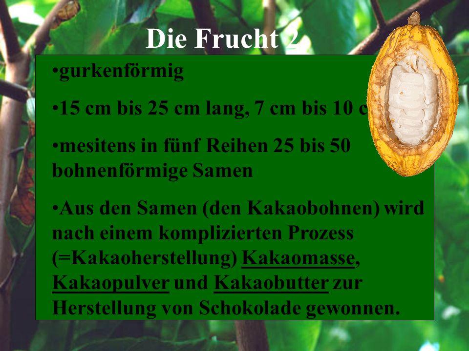 Die Frucht 2 gurkenförmig 15 cm bis 25 cm lang, 7 cm bis 10 cm dick