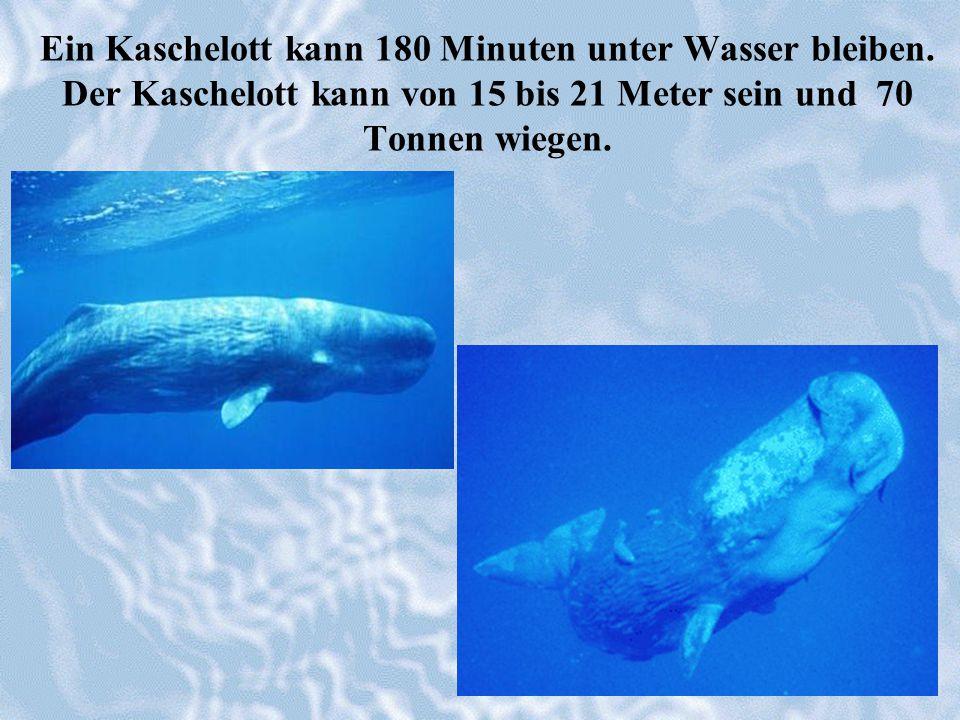 Ein Kaschelott kann 180 Minuten unter Wasser bleiben