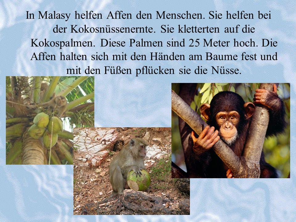 In Malasy helfen Affen den Menschen