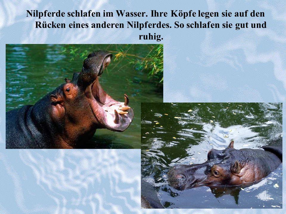 Nilpferde schlafen im Wasser