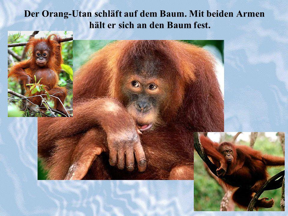 Der Orang-Utan schläft auf dem Baum