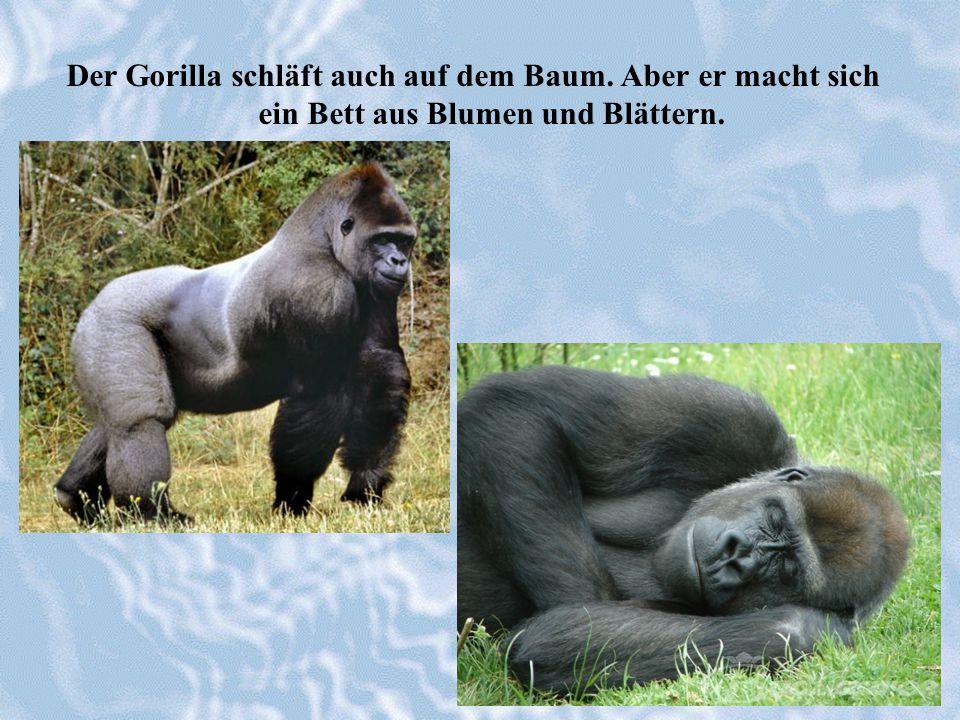 Der Gorilla schläft auch auf dem Baum